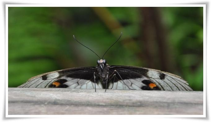 Farfalla-kuranda-699