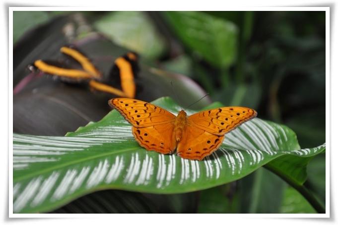 Farfalla-kuranda-702