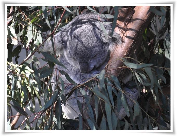 Koala-545
