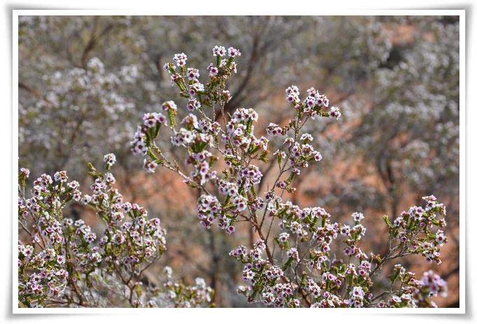 fiori-uluru-796