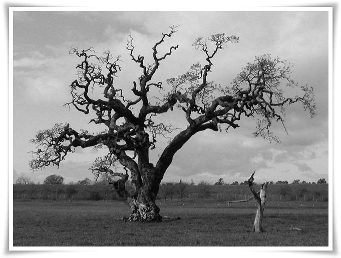 Vecchia quercia 1